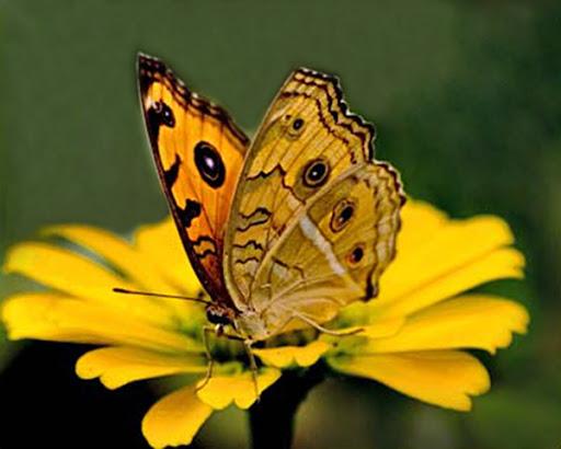 bướm bay vào nhà báo hiệu điềm gì