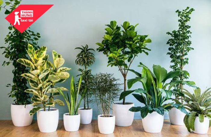 cách trồng cây phong thủy trong nhà